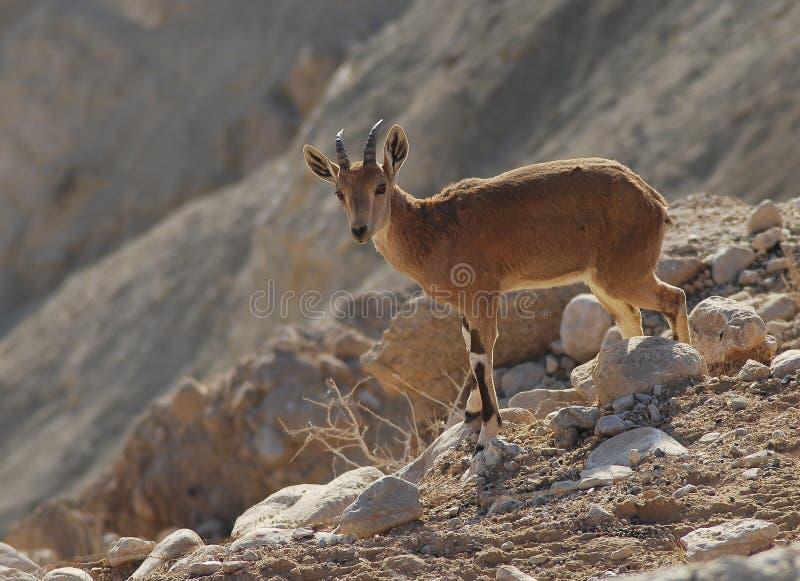 photo of pussy of female goat