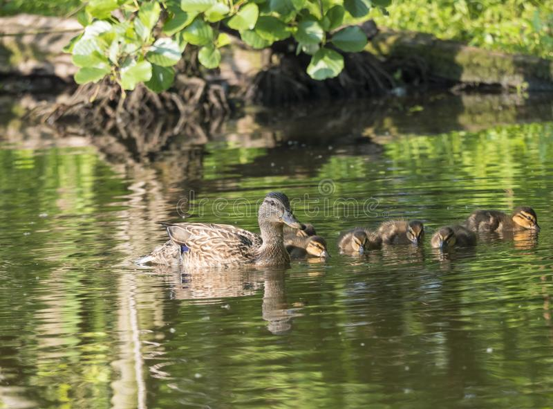 Wild Female Mallard duck with youngs ducklings. Anas platyrhynchos. Beauty in nature. Spring time golden hour. Birds. Swimming on lake. Young ones stock photos
