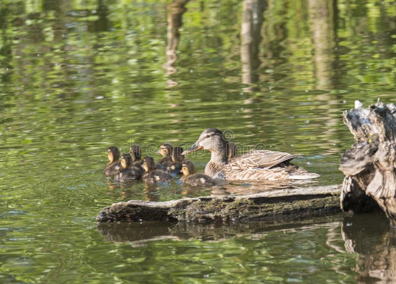 Wild Female Mallard duck with youngs ducklings. Anas platyrhynchos. Beauty in nature. Spring time golden hour. Birds. Swimming on green lake. Young ones stock photos