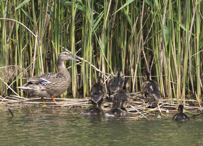 Wild Female Mallard duck with youngs ducklings. Anas platyrhynchos leaving the water hiding in reeds. Beauty in nature. Spring time. Birds swimming on lake stock photo