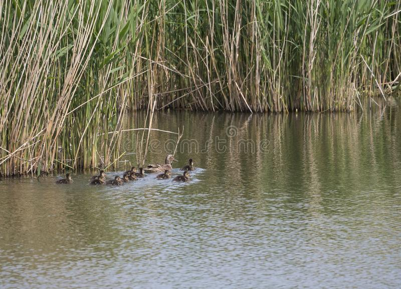Wild Female Mallard duck with youngs ducklings. Anas platyrhynchos leaving the water hiding in reeds. Beauty in nature. Spring time. Birds swimming on lake stock photography