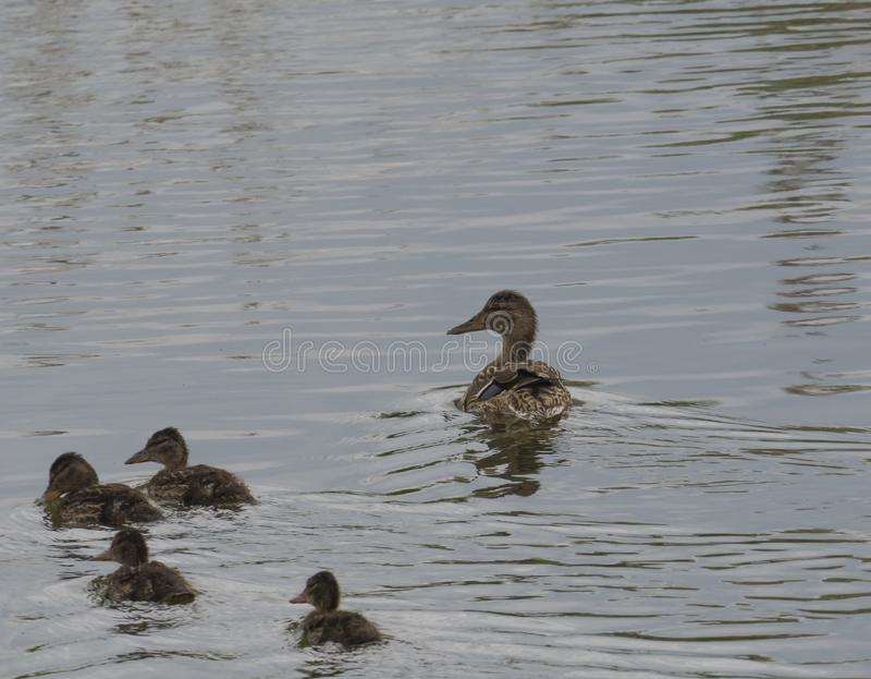 Wild Female Mallard duck with youngs ducklings. Anas platyrhynchos leaving the water hiding in reeds. Beauty in nature. Spring time. Birds swimming on lake stock photos