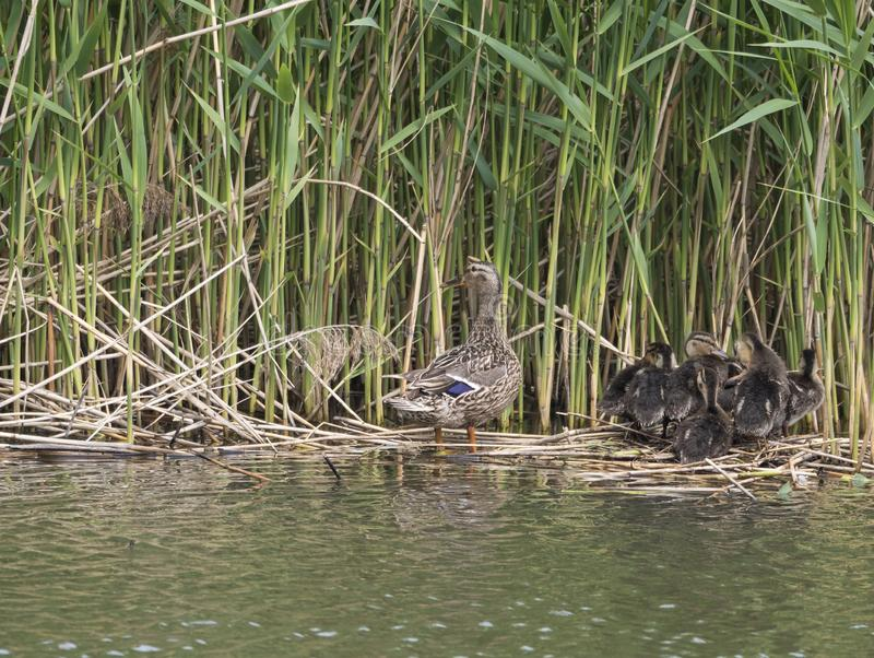 Wild Female Mallard duck with youngs ducklings. Anas platyrhynchos leaving the water hiding in reeds. Beauty in nature. Spring time. Birds swimming on lake royalty free stock photos