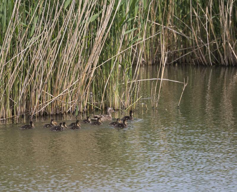 Wild Female Mallard duck with youngs ducklings. Anas platyrhynchos leaving the water hiding in reeds. Beauty in nature. Spring time. Birds swimming on lake stock images