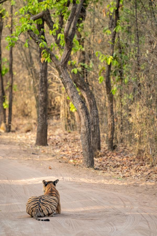 Wild female tiger from bandhavgarh resting on cool sand of a middle of jungle track at bandhavgarh tiger reserve or national park. Madhya pradesh, india royalty free stock photography