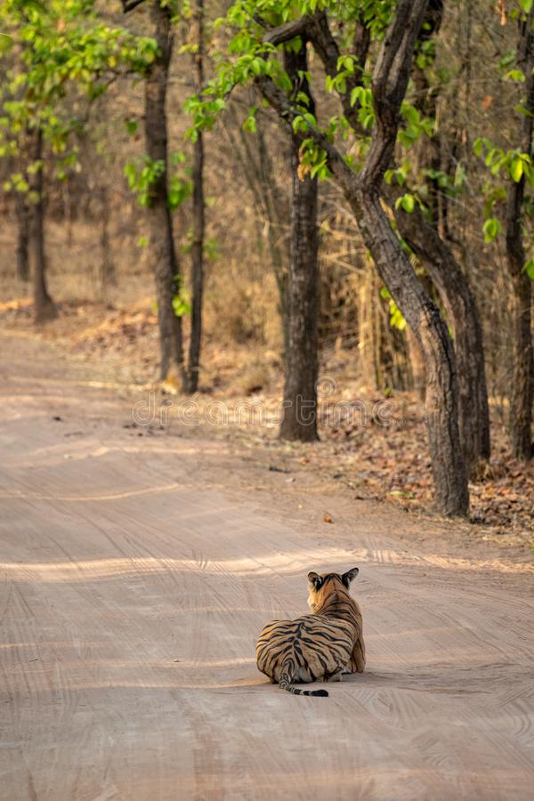 Wild female tiger from bandhavgarh resting on cool sand of a middle of jungle track at bandhavgarh tiger reserve or national park. Madhya pradesh, india royalty free stock image