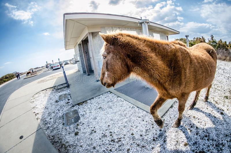 Wild feral horse trots around the public restroom in the parking lot. Wild feral horse trots around the public restroom in the parking lot of Assateague Island royalty free stock image