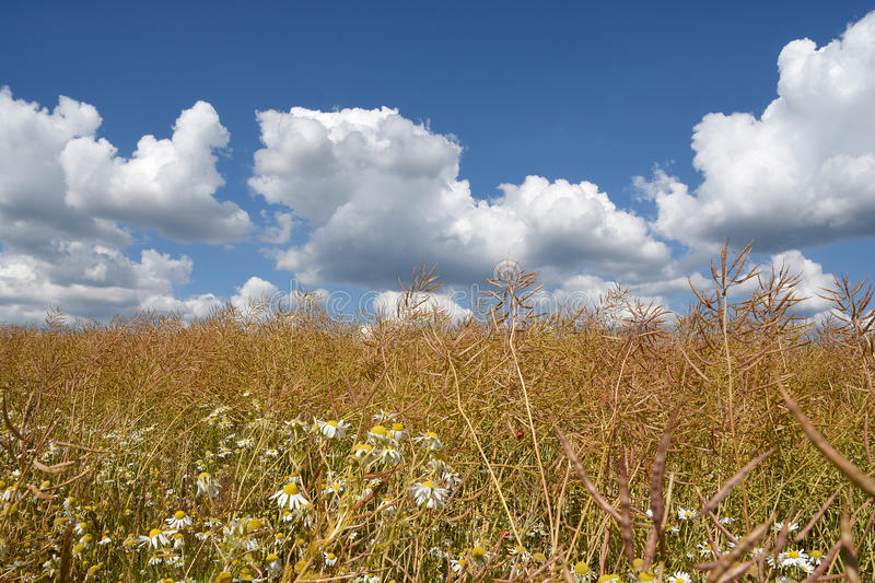 Wild field with blue sky and clouds, a natural background to commerciels. Wild field with blue sky and clouds on a windy sunny day in Denmark, a natural stock photo