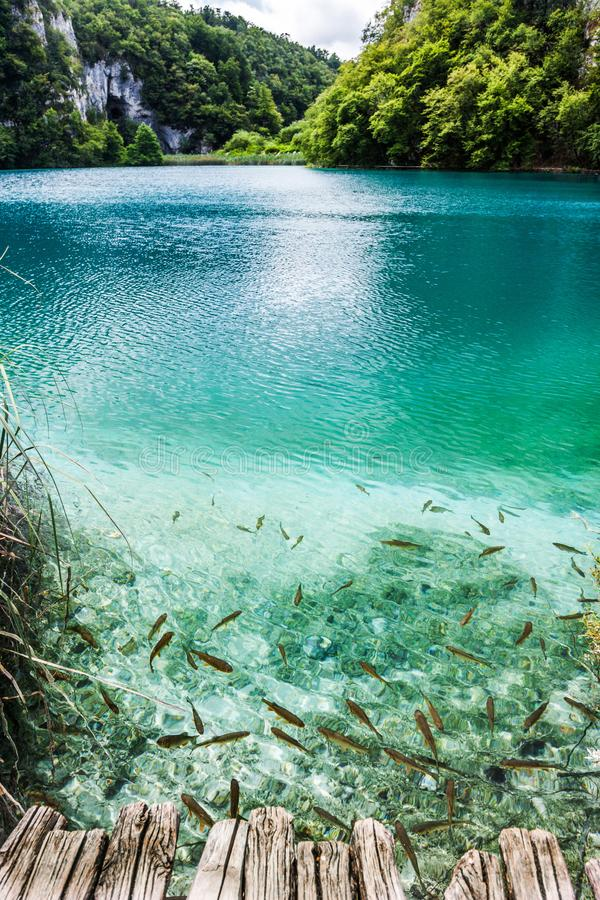 Wild fish swim in a forest lake in the crystal clear turquoise water. Plitvice, National Park, Croatia.  stock photography