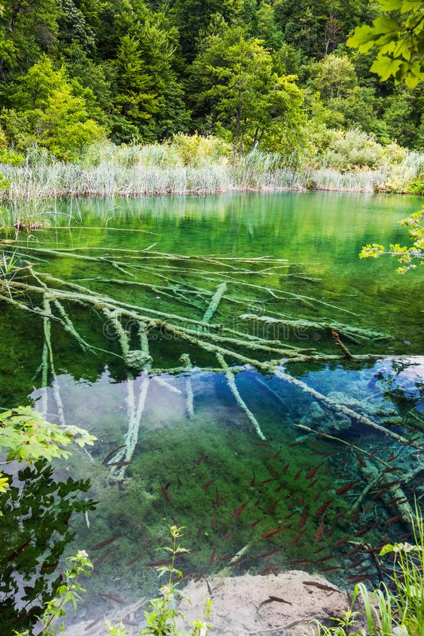 Wild fish swim in a forest lake with flooded trees in crystal clear water. Plitvice, National Park, Croatia.  stock image