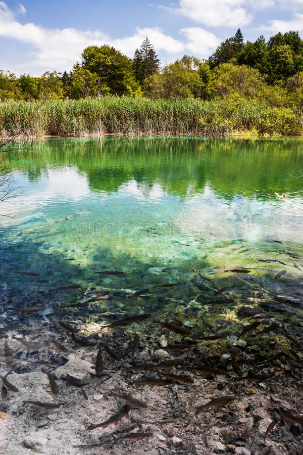 Wild fish swim in a forest lake. Plitvice, National Park, Croatia.  stock photography