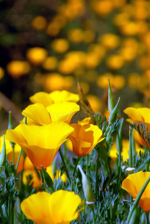 wild fjäder för blomKalifornien vallmor royaltyfri bild