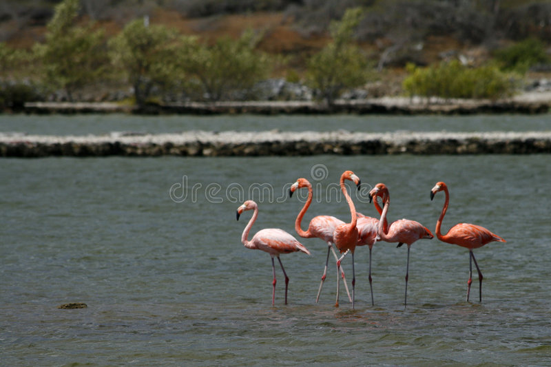 Wild Flamingos in Curacao royalty free stock image