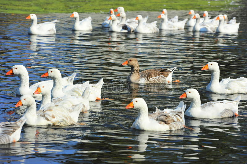 Wild flocks of geese royalty free stock photos
