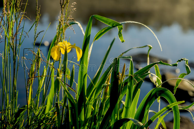 Wild flower of beautiful golden iris and other plants on the river bank early in morning, dawn, first rays of the sun stock images