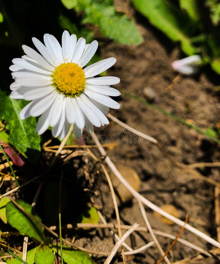 Spring daisy wildlife garden nature stock photo