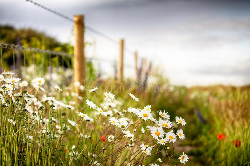 Wild flower path and fence line royalty free stock photos
