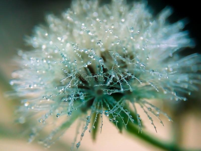 Wild flower with dew drops all over the surface. Wildflower and dew drops on the petals, dandelion, life, plant, rain, droplets, water, morning, mist, fog royalty free stock images