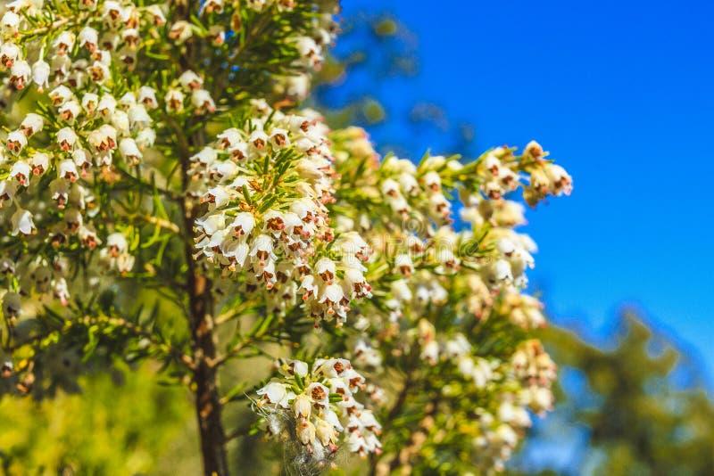 Wild flower. Of Erica spp. in a park in Jijel, Algeria royalty free stock image