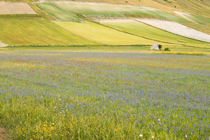 Wild flower fields in the plain of Castelluccio di Norcia. Apennines, Italy. Wild flower fields in the plain of Castelluccio di Norcia. Apennines, Umbria, Italy stock photos