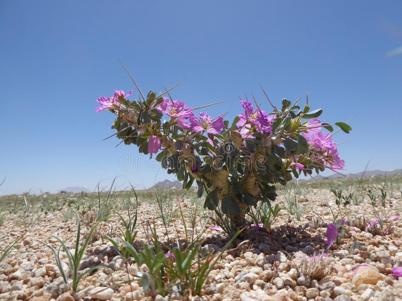 Desert wild flower in Namibia. Wild flower growing in the desert in Namibia after some rain stock photography