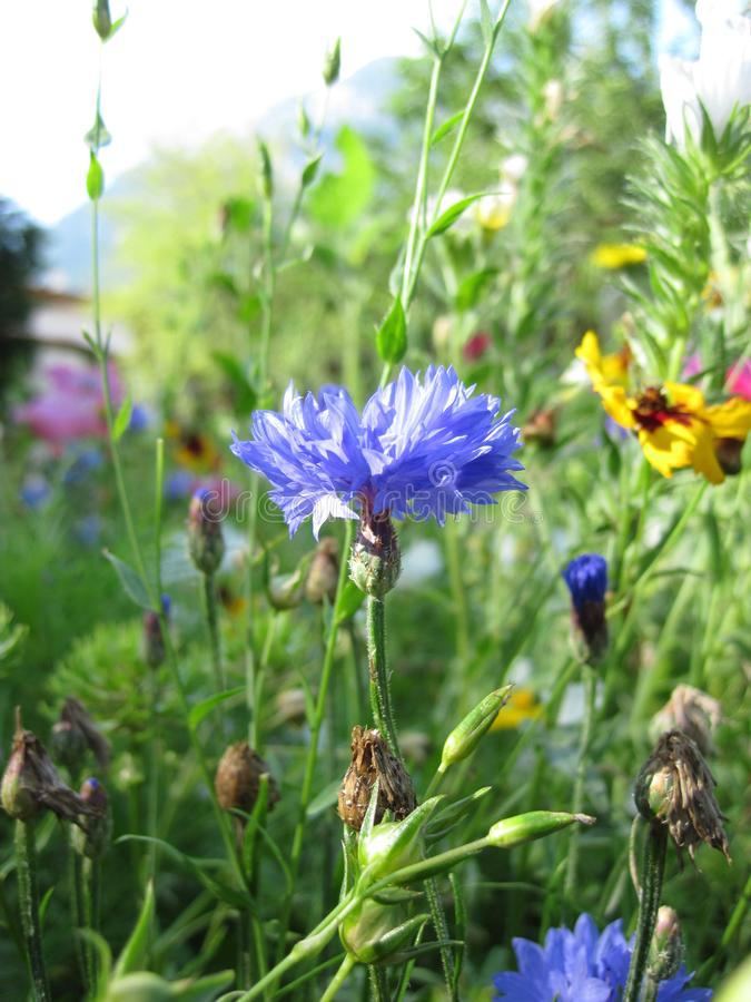 Wild flower meadow. Cornflowers, poppies. Foto made in Piding, Germany royalty free stock image