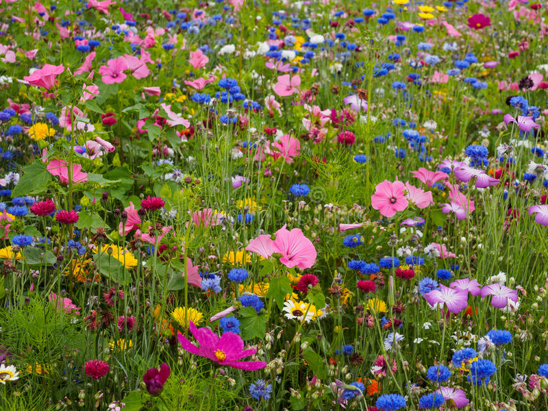 Wild Flower Meadow. Featuring a variety of colourful wild flowers royalty free stock photos