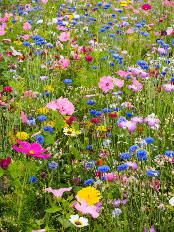 Wild Flower Meadow. Featuring a variety of colourful wild flowers royalty free stock photo