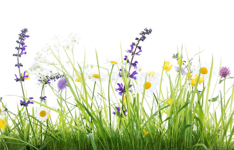 Wild flower meadow and green grass, white background. Wild flower meadow in front of white background, studio shot stock image