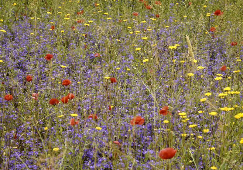 Wild flower meadow. In tuskany, Italy stock images