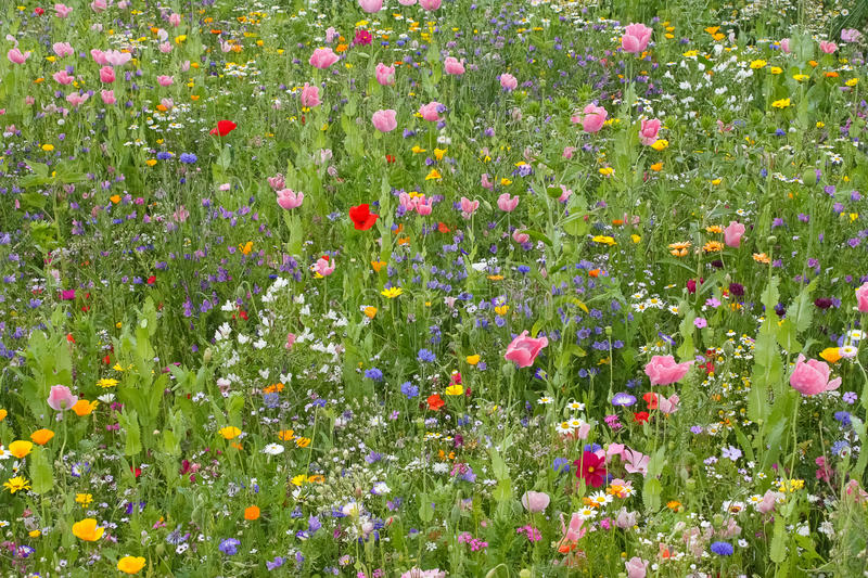 Wild flower meadow. Various colorful flowers bloom on a wild flower meadow stock photos