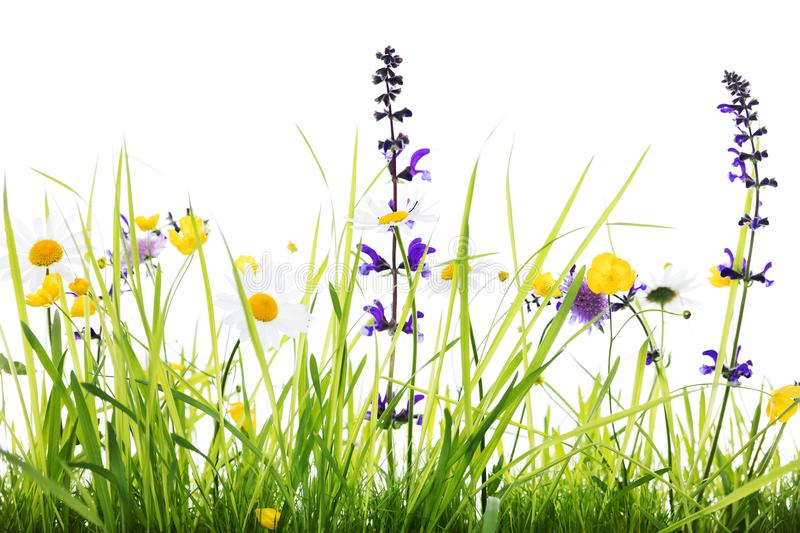 Wild flower meadow with white background. Wild flower meadow in front of white background, studio shot stock images