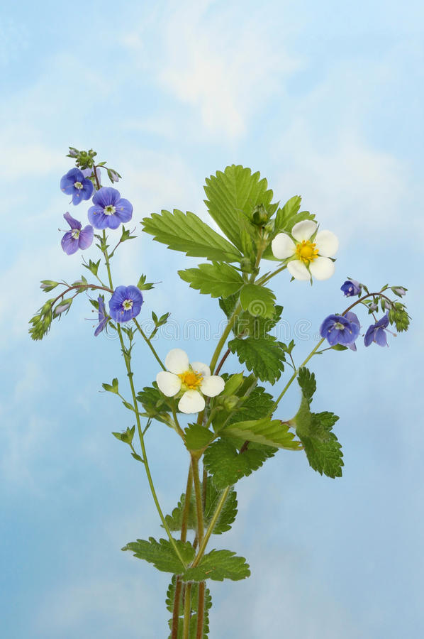 Download Wild flower sky stock photo. Image of speedwell, foliage - 41247424