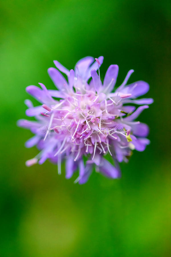 Wild flower in the summer forest. royalty free stock photography