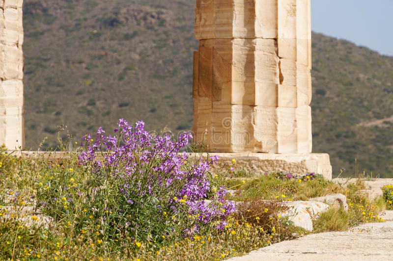 Wild flower at Temple of Poseidon at Cape Sounion, Greece. Wild flower at Temple of Poseidon at Cape Sounion near Athens, Greece royalty free stock images