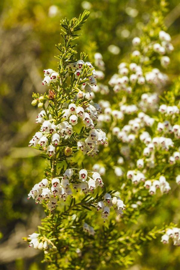 Wild flower. Of Erica spp. in a park in Jijel, Algeria stock image