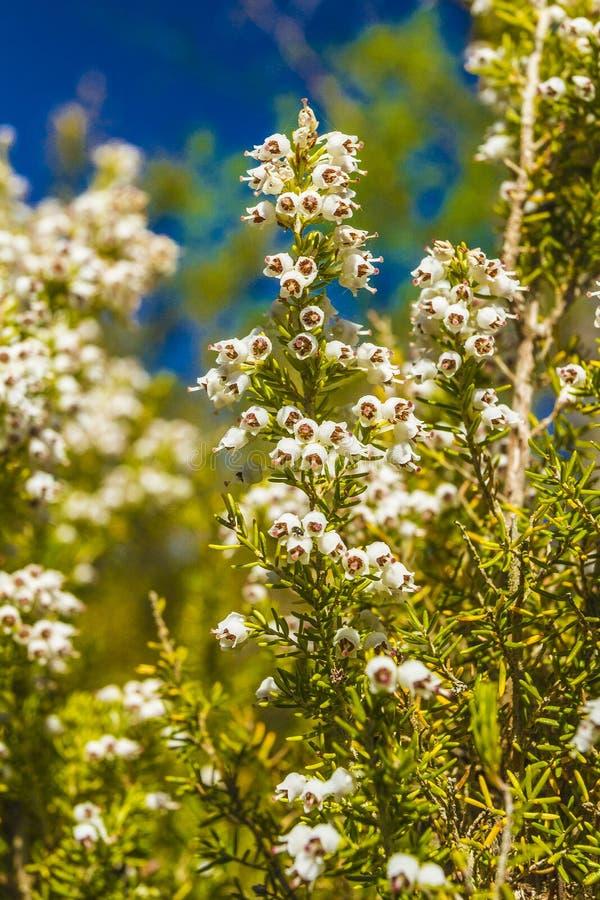 Wild flower. Of Erica spp. in a park in Jijel, Algeria stock images