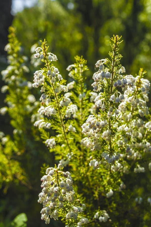 Wild flower. Of Erica spp. in a park in Jijel, Algeria royalty free stock photos