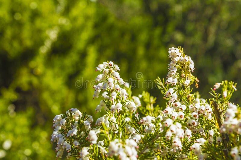 Wild flower. Of Erica spp. in a park in Jijel, Algeria stock photo