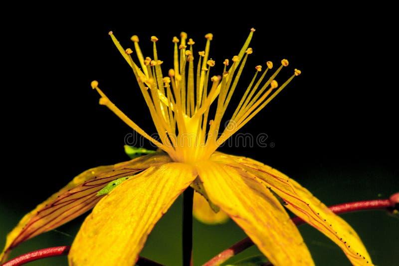 Wild flower. Wild yellow flower in a park in Jijel, Algeria royalty free stock photography
