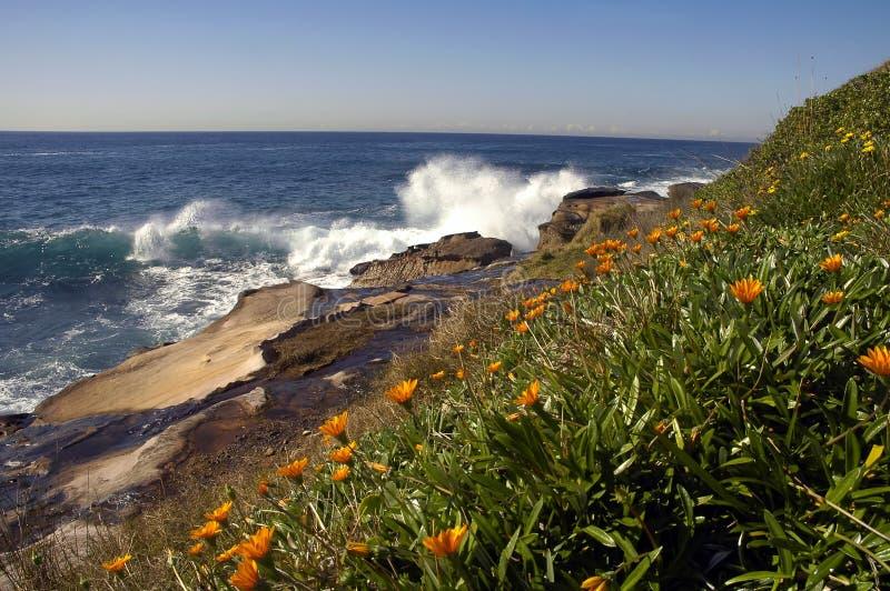 Wild flowers. Coastline in Sydney, orange flowers, rocks and ocean stock photos