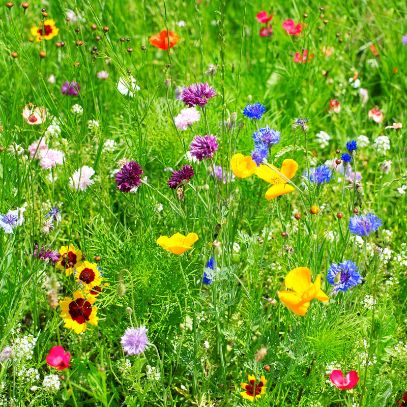 Download Wild flowers stock image. Image of leaf, blooming, background - 27236105