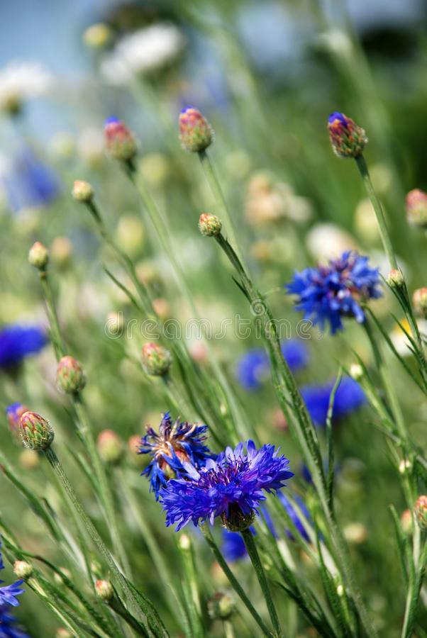 Download Wild flowers stock image. Image of pedicel, summer, meadow - 28639433