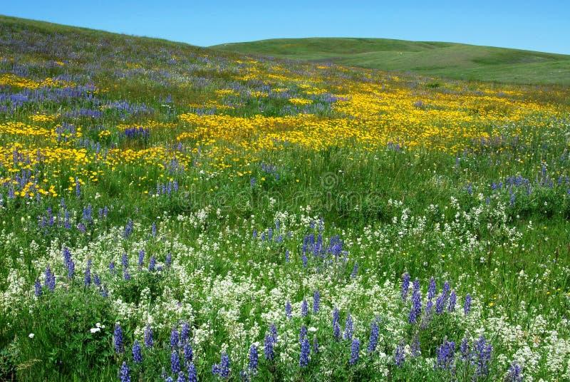 Wild flowers on alberta prairie royalty free stock photography