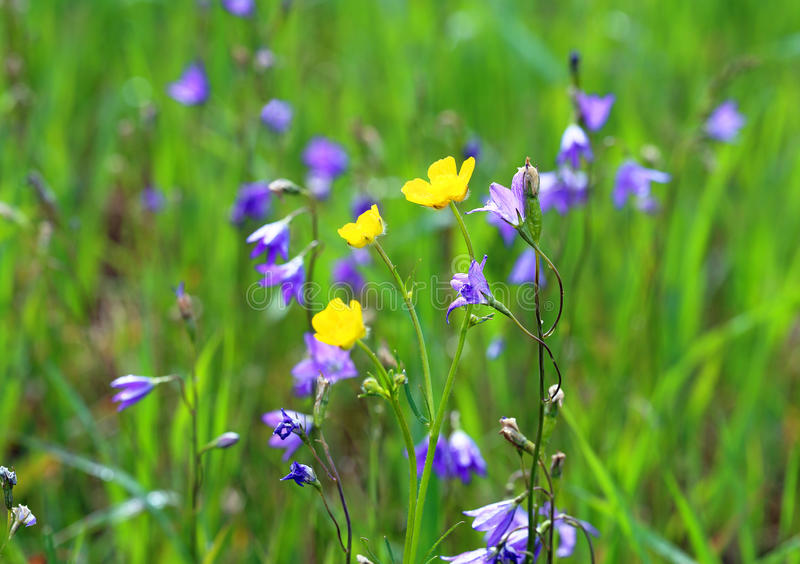 Wild flowers. The bell flower and buttercups on a meadow stock photos