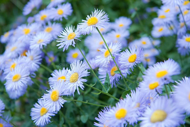 Download Wild Flowers - Blue Asters stock image. Image of many - 14885469