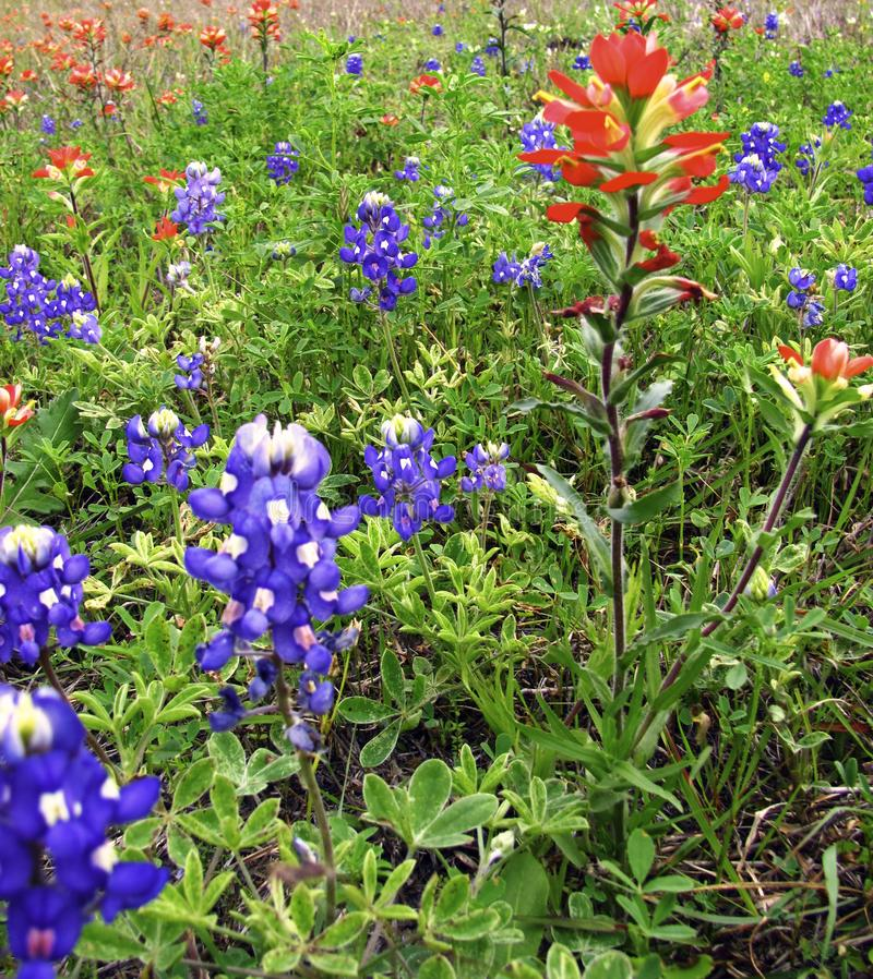 Wild Flowers, Blue Bonnets and Red and pink Indian Paintbrush stock photo