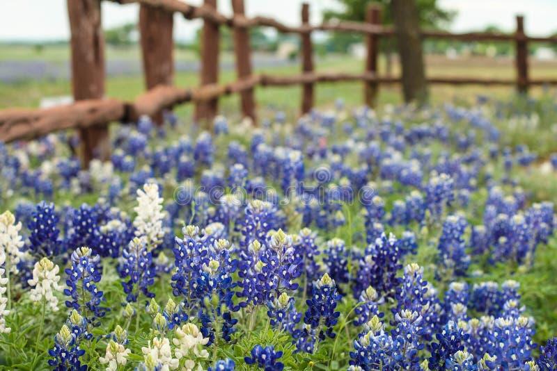 Wild flowers. Blue wild flowers in texas royalty free stock photos