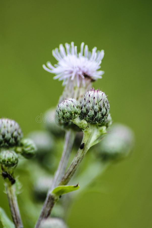 Wild flowers and buds. Purple wildflower and its buds in Spring time in a close up image stock image