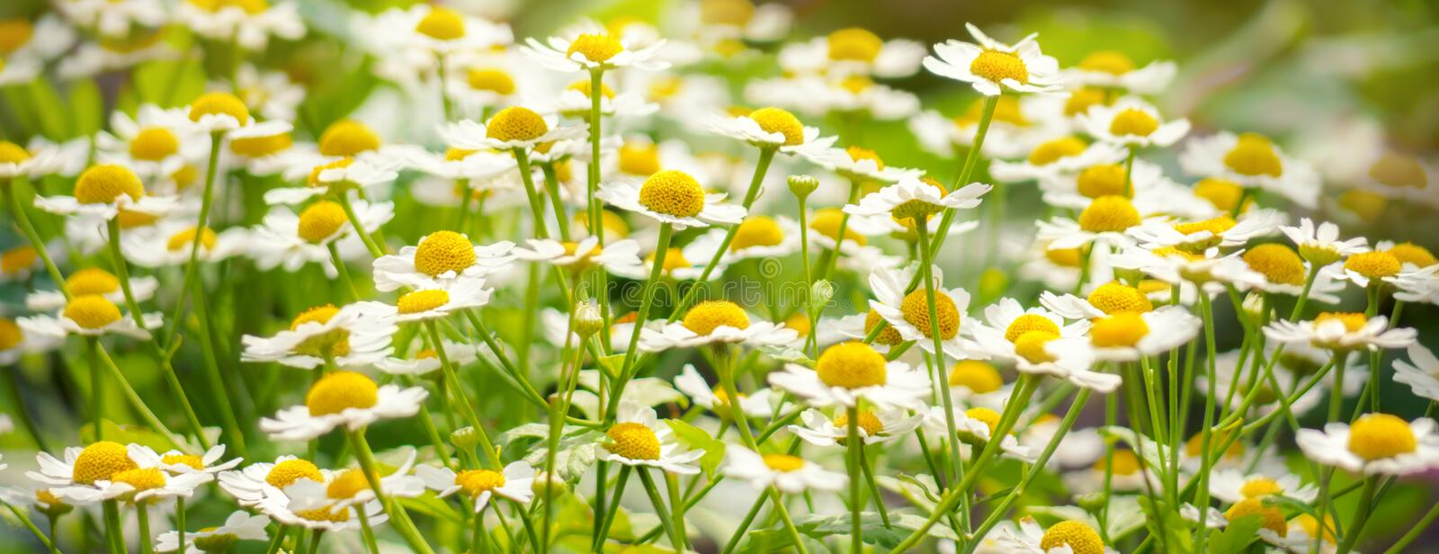 Wild flowers chamomile field daisy plant sunlight summer spring. Background stock images